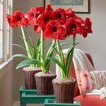 Red Amaryllis in Woven Baskets to 3 Different Addresses - Standard Shipping Included