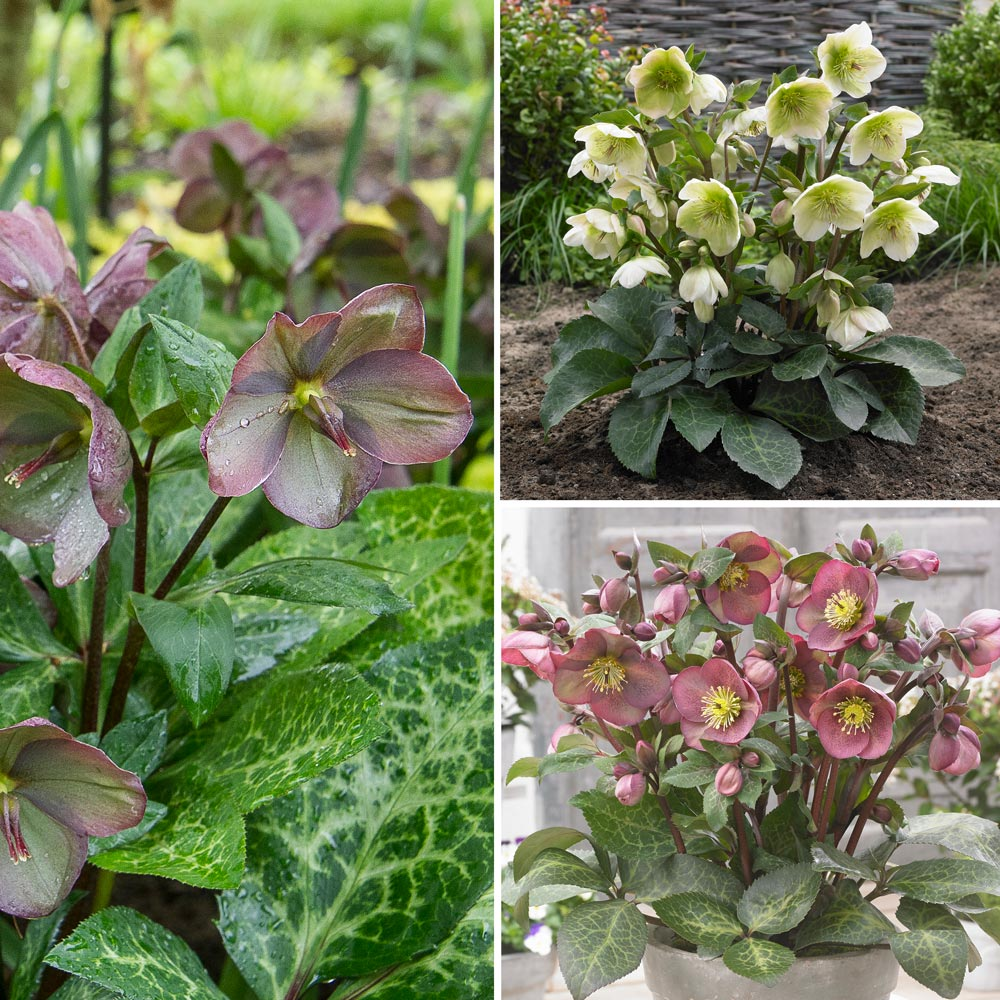 Snow Chaser Hellebore Trio