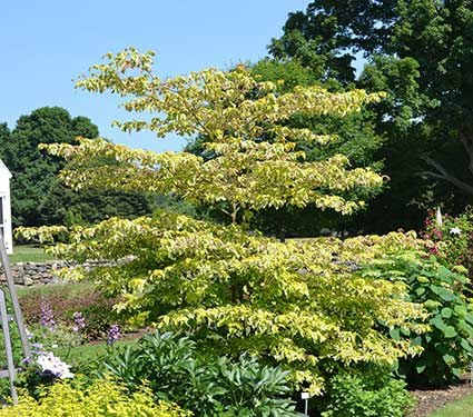 Cornus alternifolia Golden Shadows®