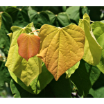 Cercis canadensis The Rising Sun™