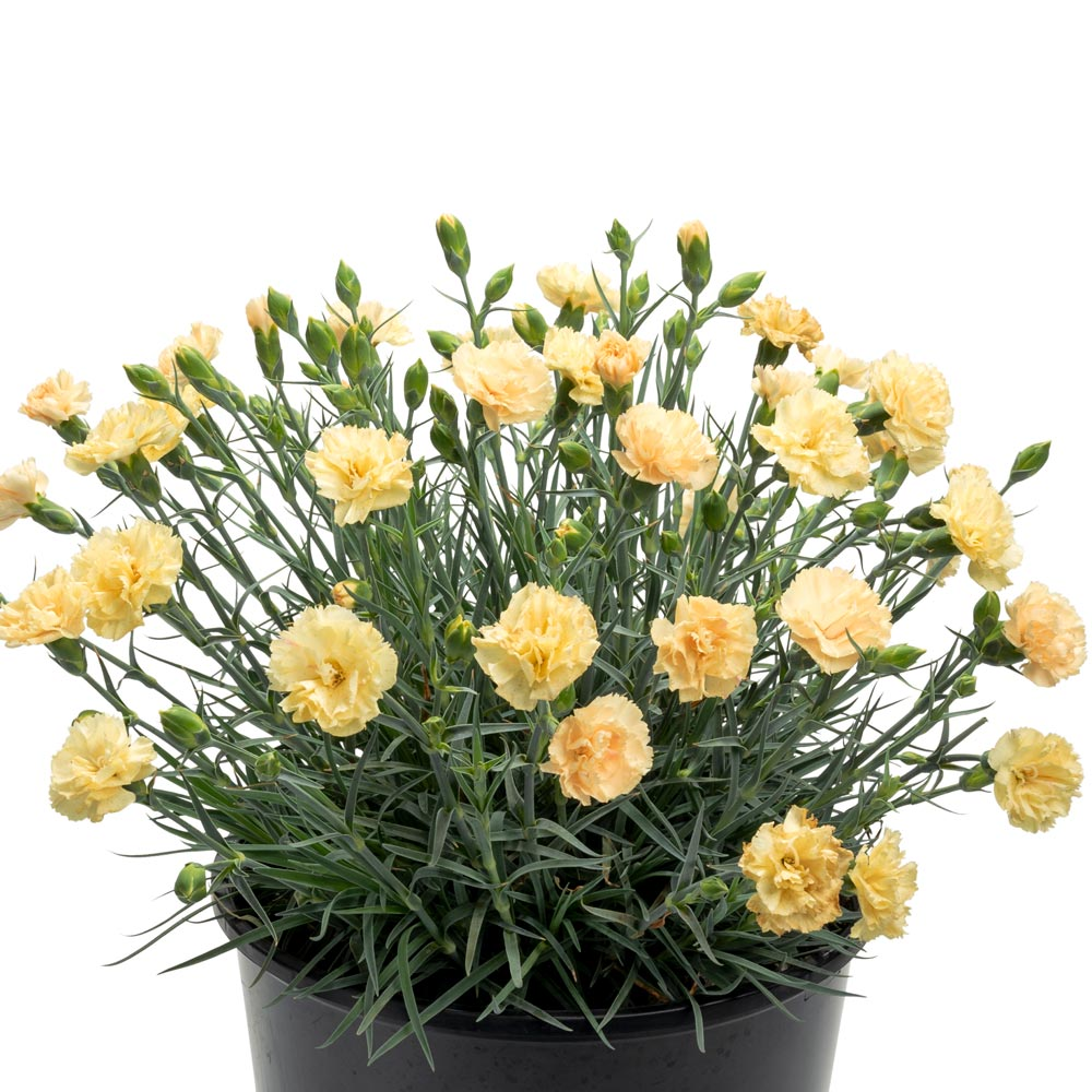 Dianthus Promotional™ Hello Yellow