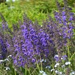 Salvia pratensis Fashionista® Evening Attire