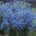 Delphinium grandiflorum 'Blue Mirror'