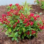 Weigela Maroon Swoon®