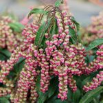 Pieris japonica Interstella®