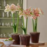 Double Amaryllis in Woven Baskets to 3 Different Addresses - Standard Shipping Included