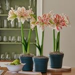 Double Amaryllis in Nursery Pots to 3 Different Addresses - Standard Shipping Included
