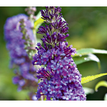 Buddleia davidii English Butterfly™ Purple Emperor™