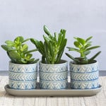 Lucky Jade Succulent Trio in ceramic pots with tray