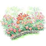 Sunset Pinks Daylily Collection