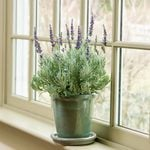 Lavender 'Goodwin Creek Grey' in glazed pot