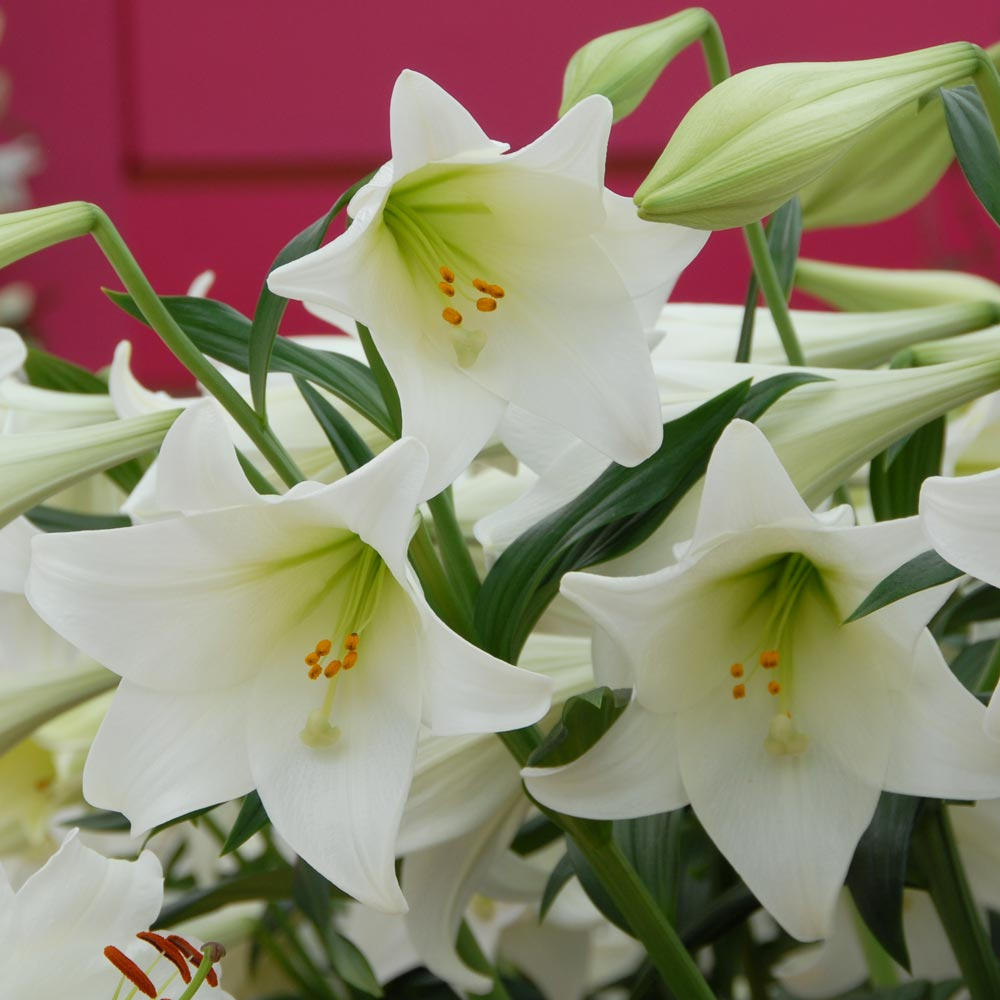 Lilium longiflorum 'White Heaven'