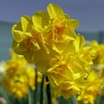 Narcissus 'Golden Delicious'