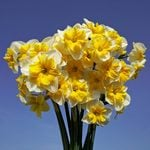 Narcissus 'Life is Good'