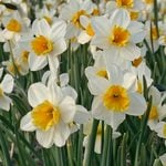 Narcissus 'Tangerine Beauty'