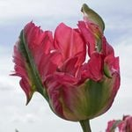 Tulip 'Red Wave'