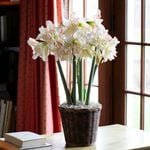 Amaryllis Harlequin®, 3 bulbs in woven basket