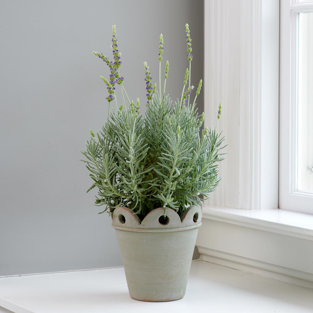 Lavender 'Goodwin Creek Grey' in Pendu pot with saucer