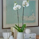 White Moth Orchid in 5½