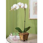 White Moth Orchid in 5¼