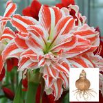 Amaryllis Dancing Queen®