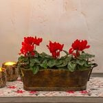 Trio of Red Cyclamen, three pots in metal cachepot