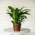 Peace Lily 'Flower Bunch'