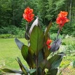Canna Cannova® Bronze Orange