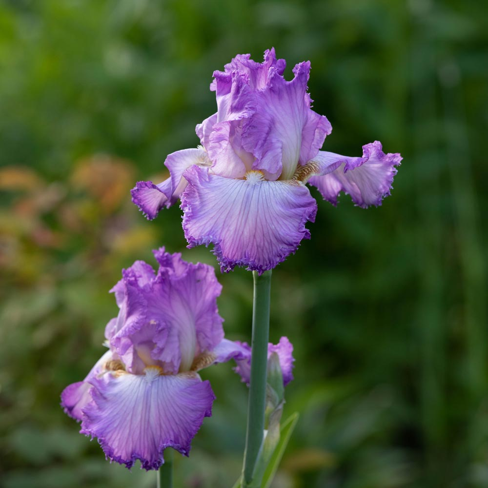 Iris germanica 'Mayberry'