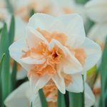 Narcissus 'Delnashaugh'