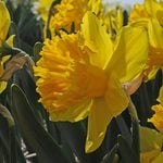 Narcissus 'Over the Top'