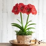 Amaryllis 'Magical Touch' and Fern Dish Garden