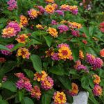 Annuals for Flower Beds