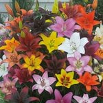 Bold Colors Asiatic Lily Mix