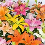 Lilium Pastel Shades Mix for Naturalizing