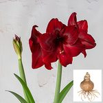 Amaryllis 'Red Pearl,' bulb only