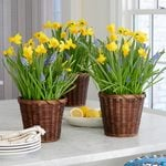 Tiny Trumpets Bulb Collections to 3 Different Addresses - Standard Shipping Included