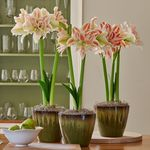 Double Amaryllis - Standard Shipping Included