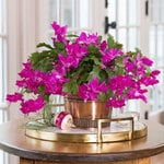 Pink Holiday Cactus in copper-toned cachepot