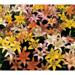 Lilium Naturalizing Mixture