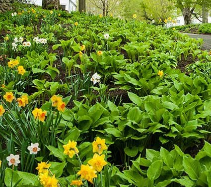 Collaboration for Part Shade for the North - Daffodils & Hosta
