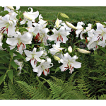 As Time Goes By Casa Blanca Lilies and Ferns