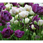 May Romance Tulip Collection