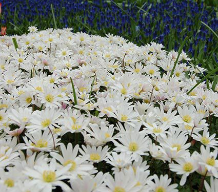 Anemone blue and white mixture white flower farm mightylinksfo Choice Image