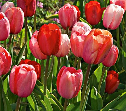 Impression Mixture of Tulips