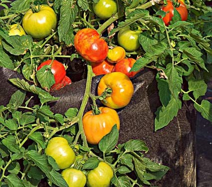 Tomato 'Bush Early Girl'