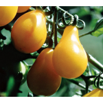 Tomato 'Yellow Pear'