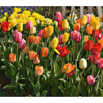 White Flower Farm Perennial Tulip Collection