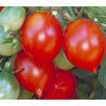 Tomato Riesentraube for Spring 2017