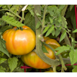 Tomato Gold Medal Yellow